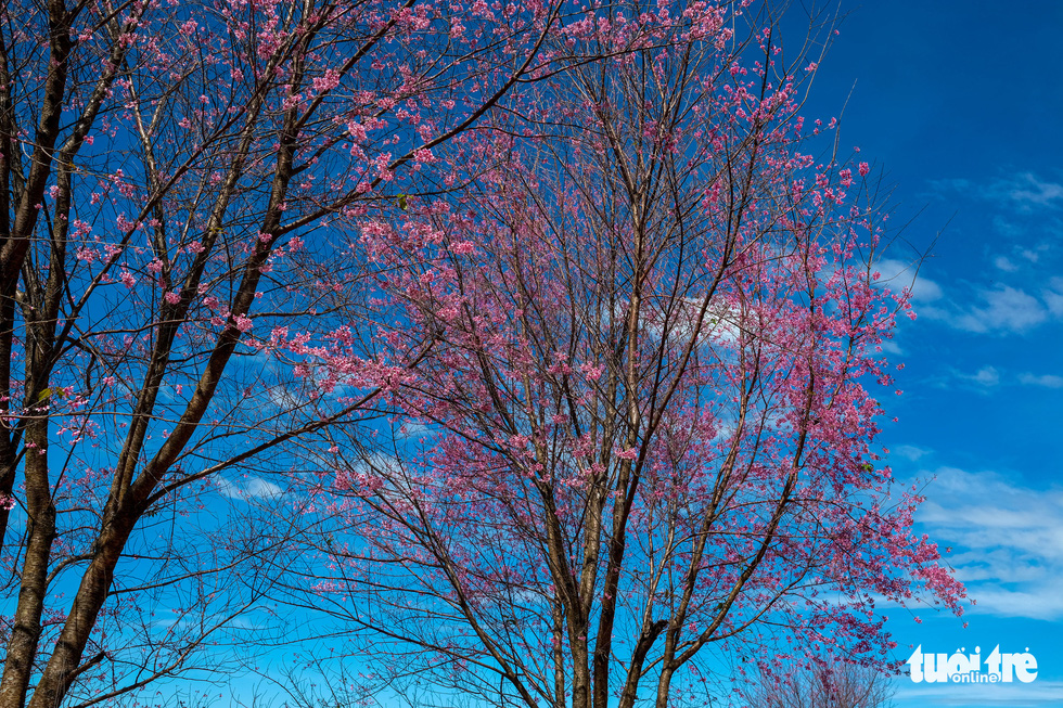 The older the tree is, the more flowers it produces. Photo: Duc Tho / Tuoi Tre