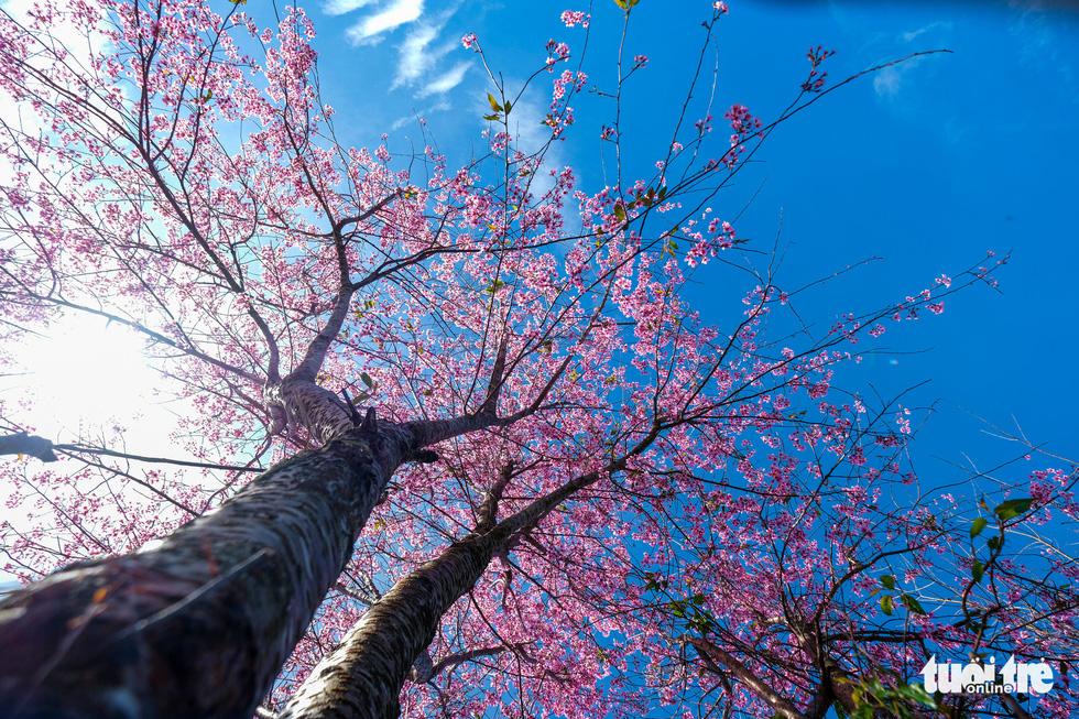 A photo captures a perennial mai anh dao tree in Da Lat. Photo: Duc Tho/ Tuoi Tre