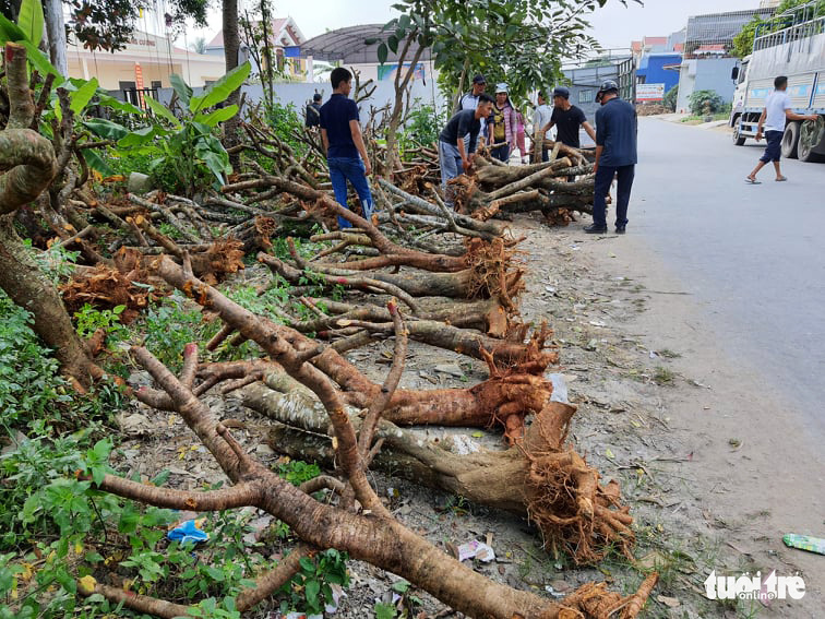 Peach blossom trees' trunks with roots lie on a street in Dang Cuong Commune of An Duong District, Hai Phong City, Vietnam, January 2021. Photo: Ngoc Anh / Tuoi Tre