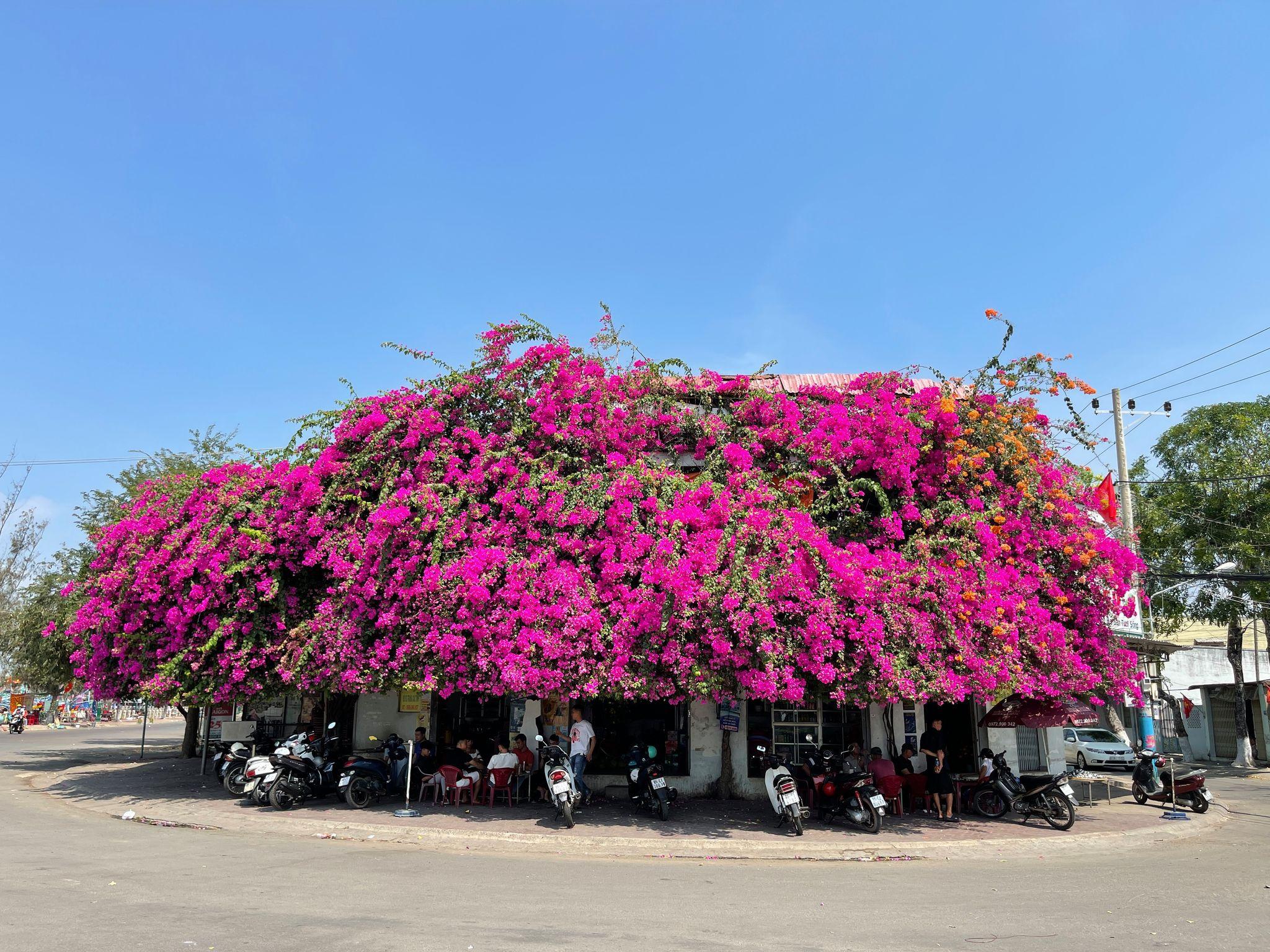 Bougainvillea in full bloom: A must-see in Vietnam's coastal Phan Thiet City