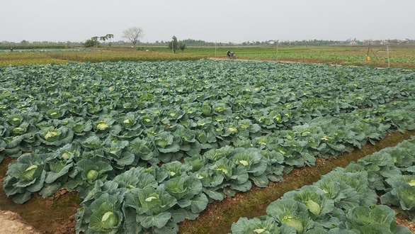 How COVID-19 is affecting northern Vietnamese veggie supplying market