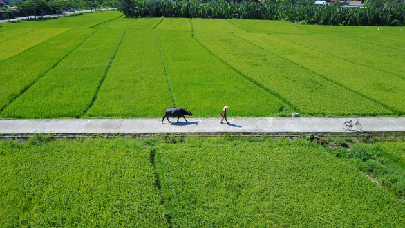 In Hoi An, water buffaloes act as friendly tour guides