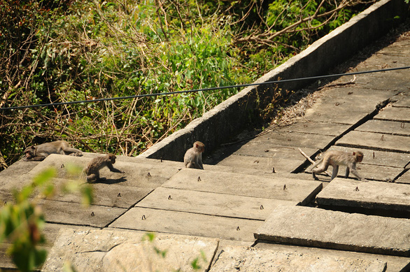 Monkeys stir up Cham Islands