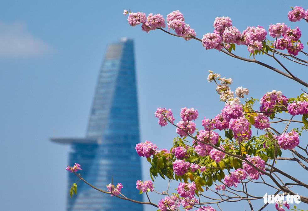 Saigon tickled pink as rosy trumpet flowers bloom