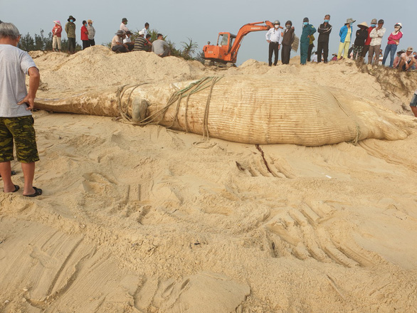 Local residents prepare to bury the whale that washed ashore in Binh Nam Commune, Thang Binh District of Quang Nam Province. Photo: H.Trong / Tuoi Tre