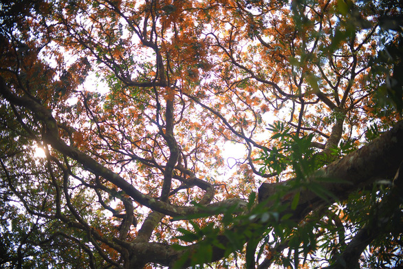 A photo from below shows jungle flame flowers blooming on the trees. Photo: Lam Thien / Tuoi Tre