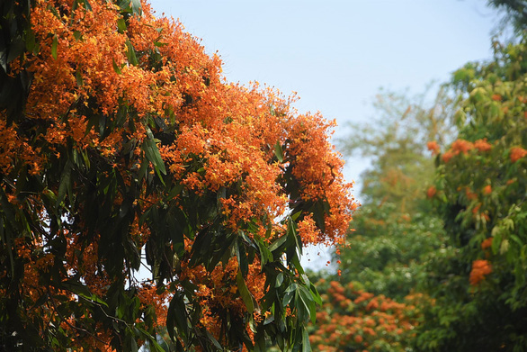 A close up to blossoming jungle flame flowers at Vinh Hiep Commune in Vinh Thanh District, Binh Dinh central province. Photo: Lam Thien / Tuoi Tre
