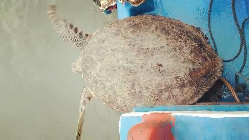 South-central Vietnamese province releases endangered sea turtle into sea