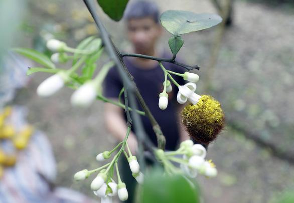 A fertilized grapefruit flower bears fruit. Photo: Trong Chinh / Tuoi Tre