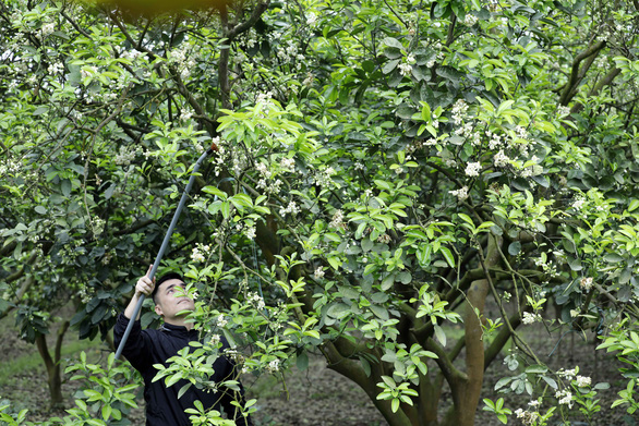 A pollinator uses a stick to pollinate Dien grapefruit blossoms in an orchard in Bac Tu Liem District, Hanoi, Vietnam. Photo: Trong Chinh / Tuoi Tre