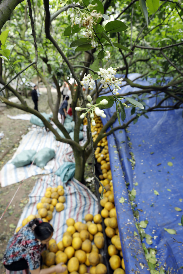 Farmers packs Dien grapefruits collected in an orchard in Bac Tu Liem District, Hanoi, Vietnam. Photo: Trong Chinh / Tuoi Tre