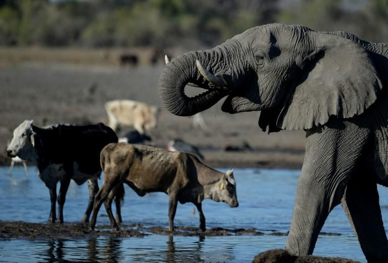 'Alarm bells' as African elephants see sharp decline: conservationists