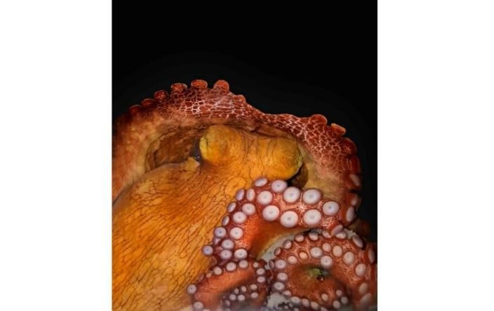 Do octopuses have dreams? Tiny ones, probably