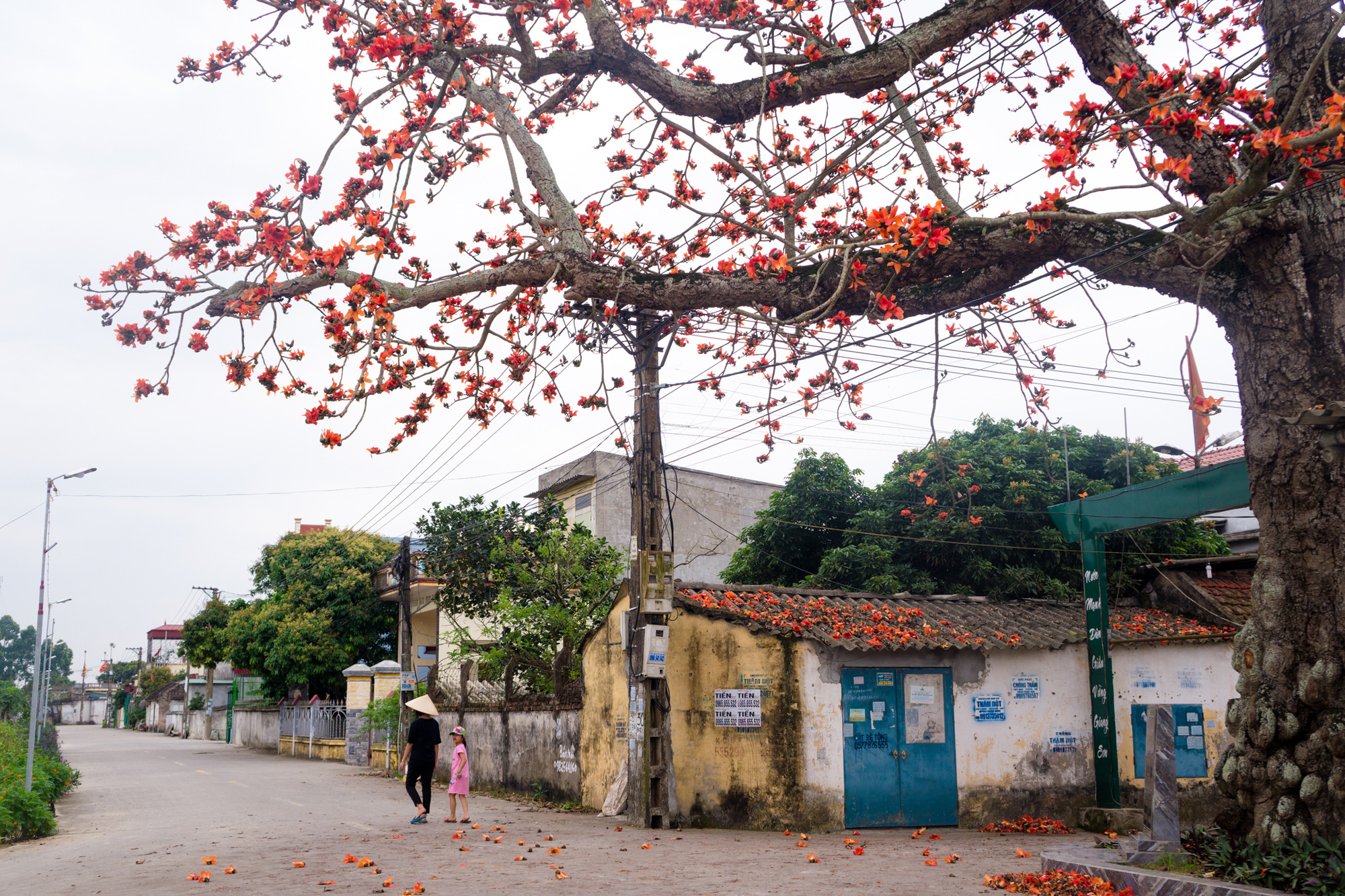 An ancient kapok tree blooms by the entrance to Dong Ky Village in Quynh Phu District, northern province of Thai Binh. Photo: Van Duy / Tuoi Tre