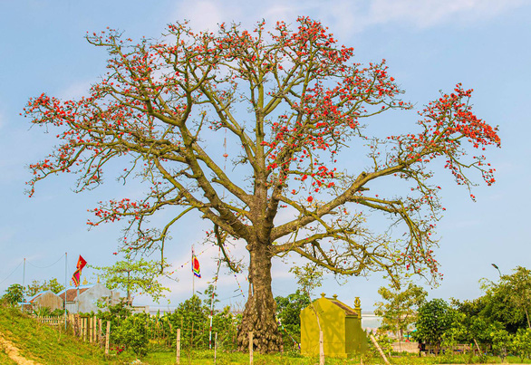 During the blooming season, a kapok tree looks outstanding from afar. Photo: Nguyen Huong / Tuoi Tre