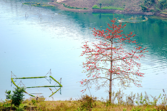 Another kapok tree is seen along the Da River. Photo: Van Duy / Tuoi Tre