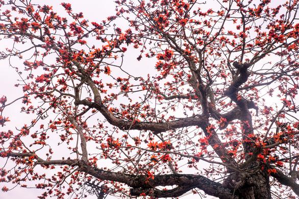Kapok flowers paint the sky red. Photo: Van Duy / Tuoi Tre