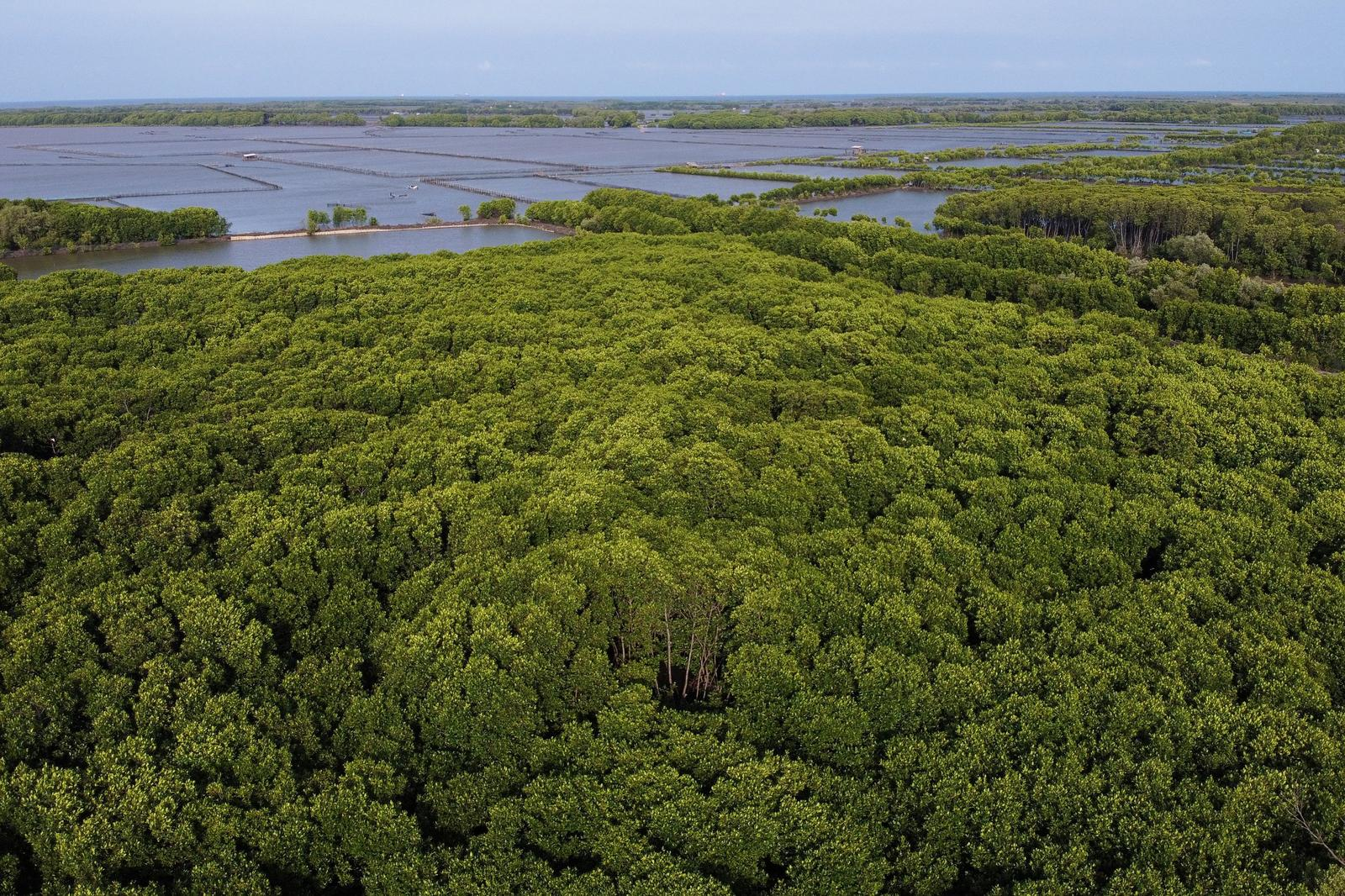 An aerial picture shows the area replanted with mangrove trees by Cukup Rudiyanto and his colleague Samsudin, in Pabeanilir village, Indramayu regency, West Java province, Indonesia, March 14, 2021. Photo: Reuters