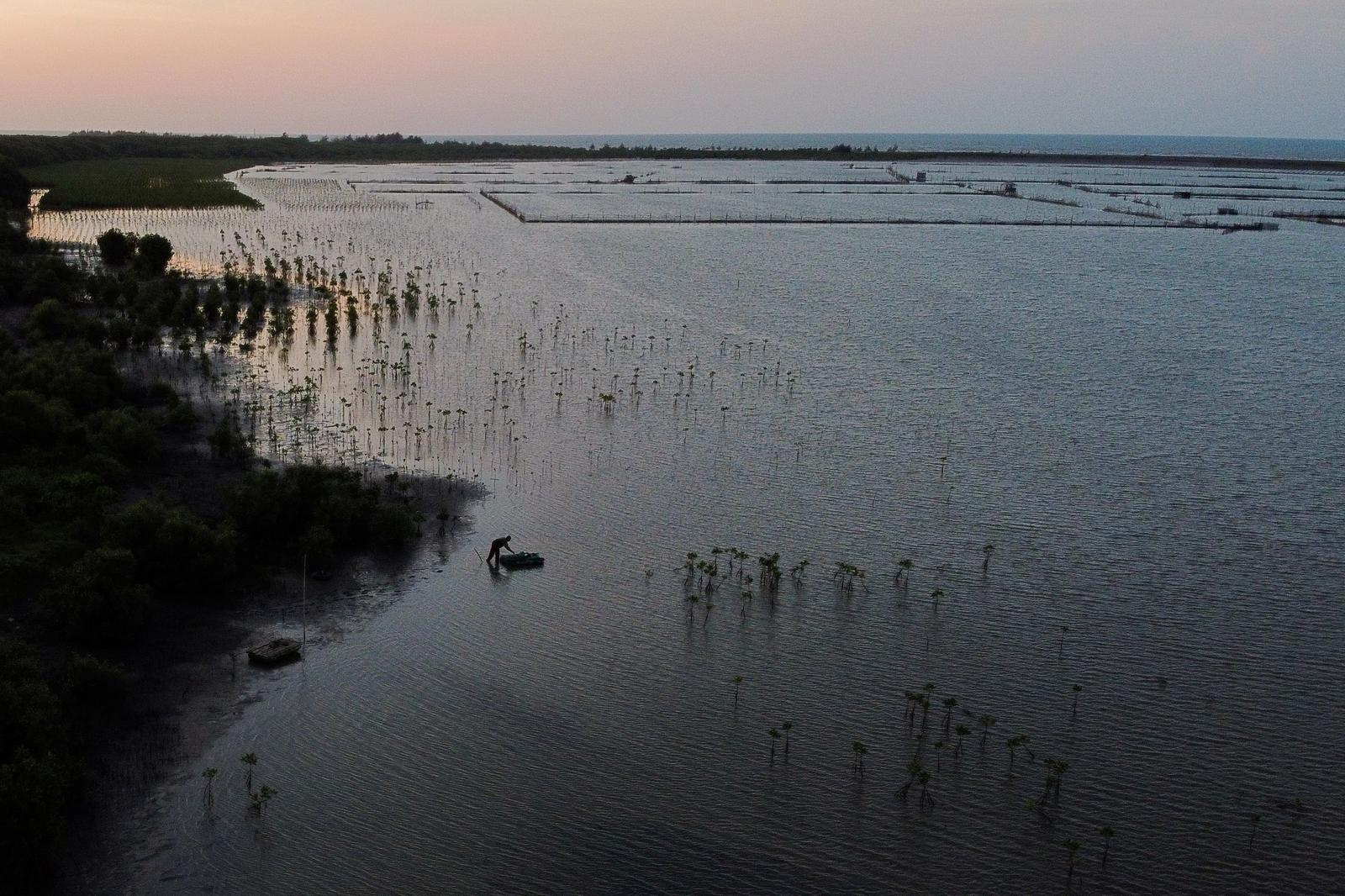 A local pond farmer is seen among the newly planted mangrove trees at Tiris beach during sunset in Pabeanilir village, Indramayu regency, West Java province, Indonesia, March 11, 2021. Photo: Reuters