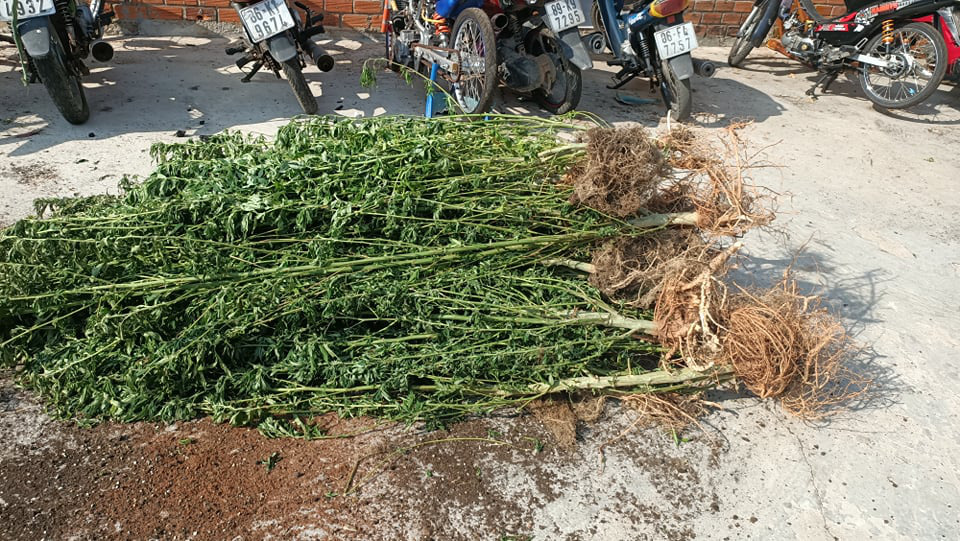 Canadian man probed for growing nearly 500 cannabis plants at Vietnamese wife's house