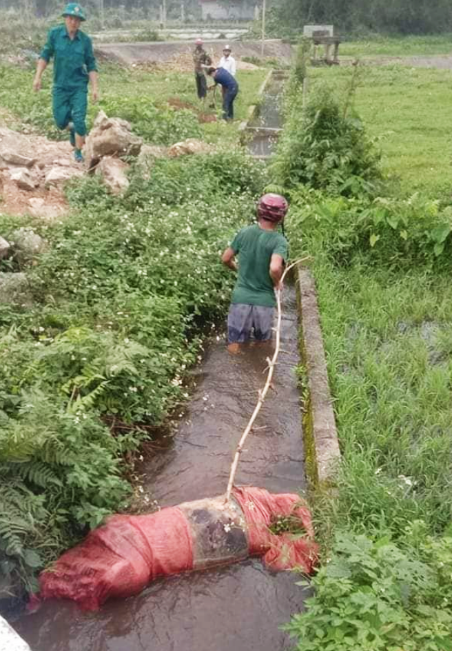 A pig is being salvaged from a ditch in Nghe An Province, Vietnam. Photo: T.Giang  / Tuoi Tre