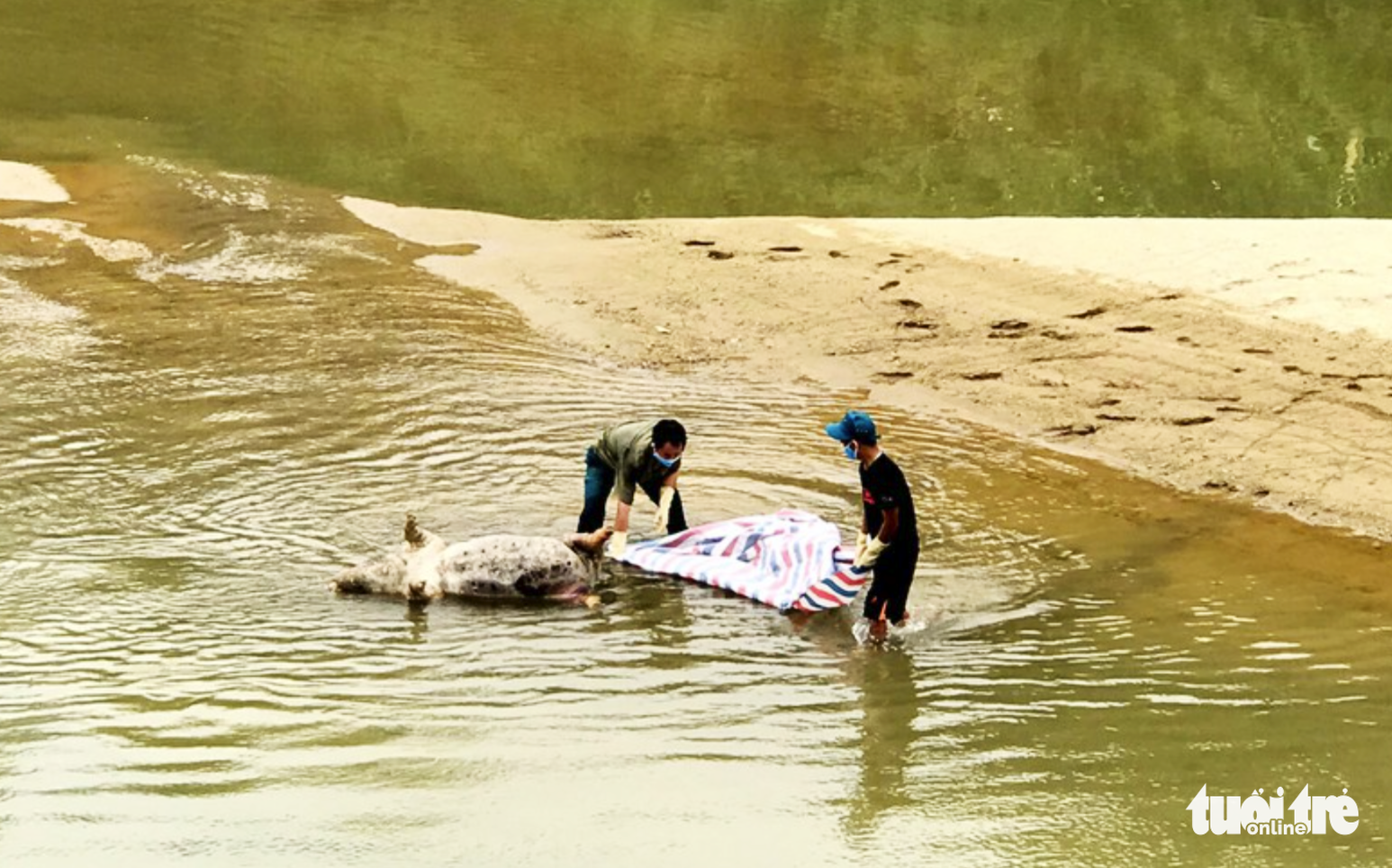 A dead pig is salvaged from a river in Nghe An Province, Vietnam. Photo: V.Ly / Tuoi Tre