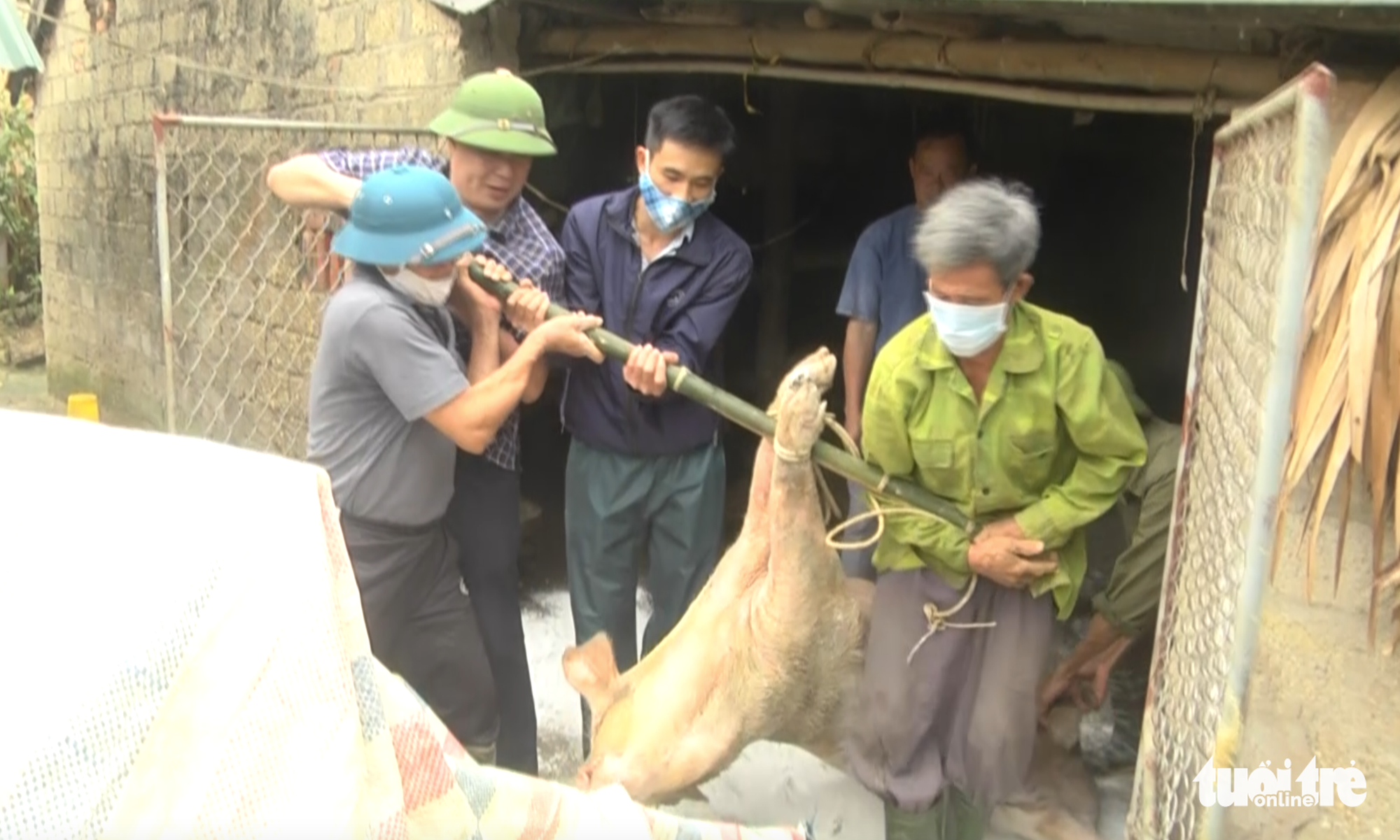 Authorities handle a dead pig in Nghe An Province, Vietnam. Photo: Doan Hoa / Tuoi Tre