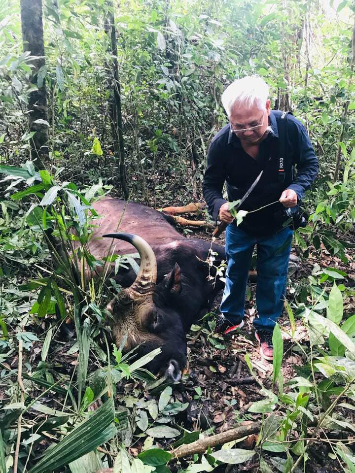 Gaur kept as specimen after dying of old age at Vietnam nature reserve