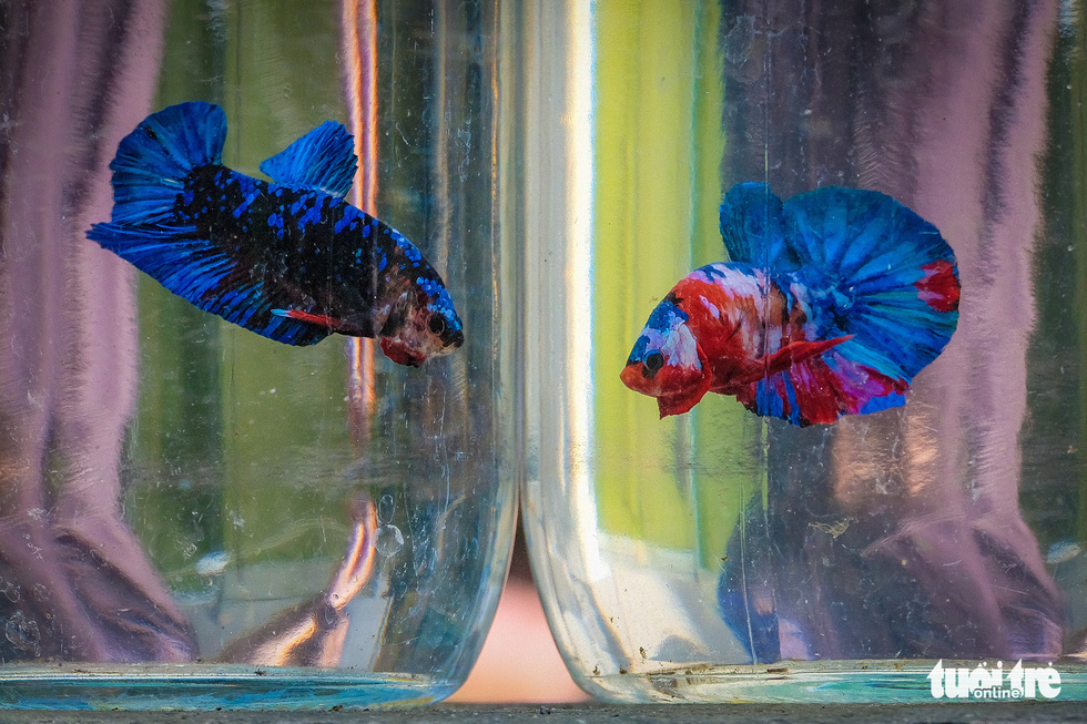 Mature betta fish in Tran Ngoc Thang's farm in Hanoi. Photo: Nam Tran / Tuoi Tre