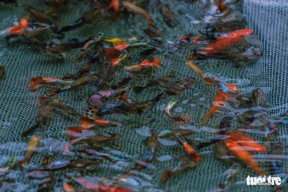 Betta fish in Tran Ngoc Thang's farm are seen in a breeding tank. Photo: Nam Tran / Tuoi Tre