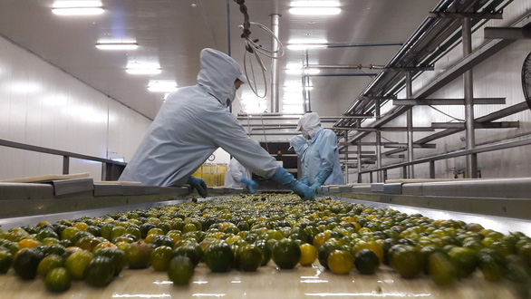 A part of the kumquat juice production line at Tien Thinh Agricultural Product Processing Co., Ltd. Photo: Le Dan / Tuoi Tre