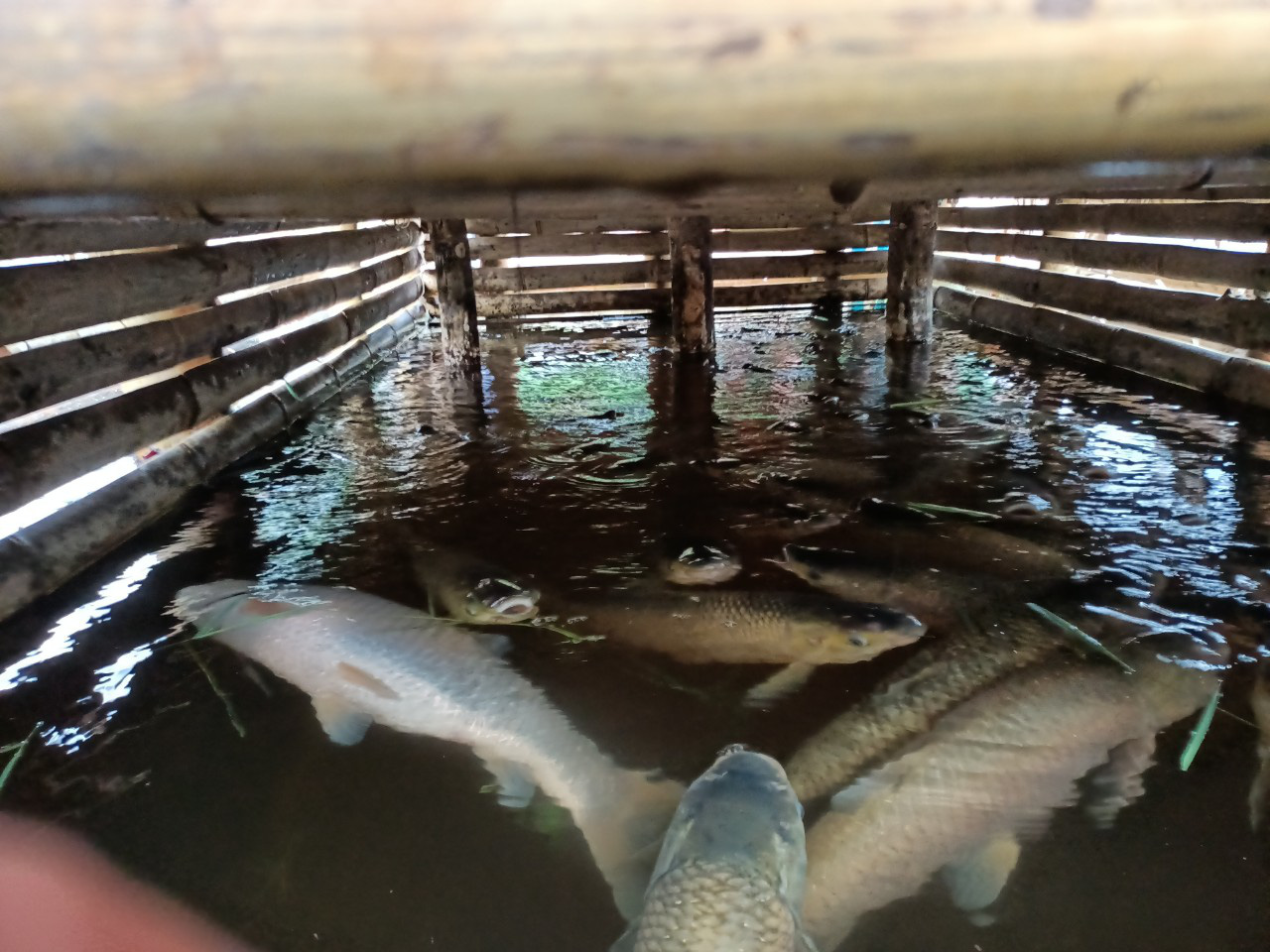 Farm-raised fish die en masse along the Ma River in Cam Thuy District, Thanh Hoa Province, Vietnam, April 14, 2021. Photo: Ha Dong / Tuoi Tre