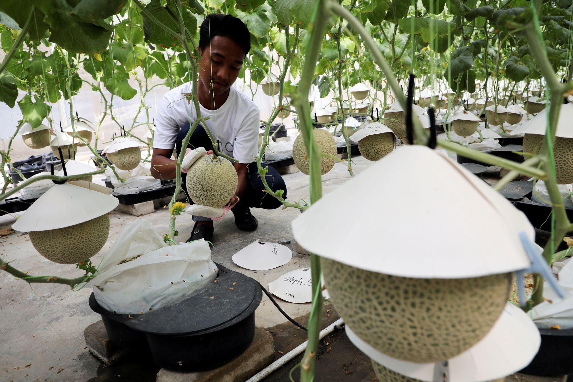 A farmer polishes a Japanese muskmelon with facial pads at Mono Farm in Putrajaya, Malaysia April 8, 2021. Photo: Reuters