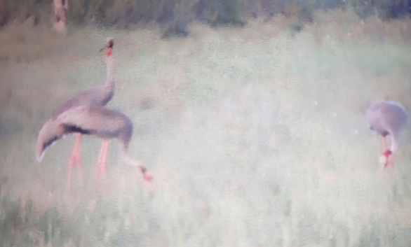 Endangered cranes return to Vietnam after one year of absence