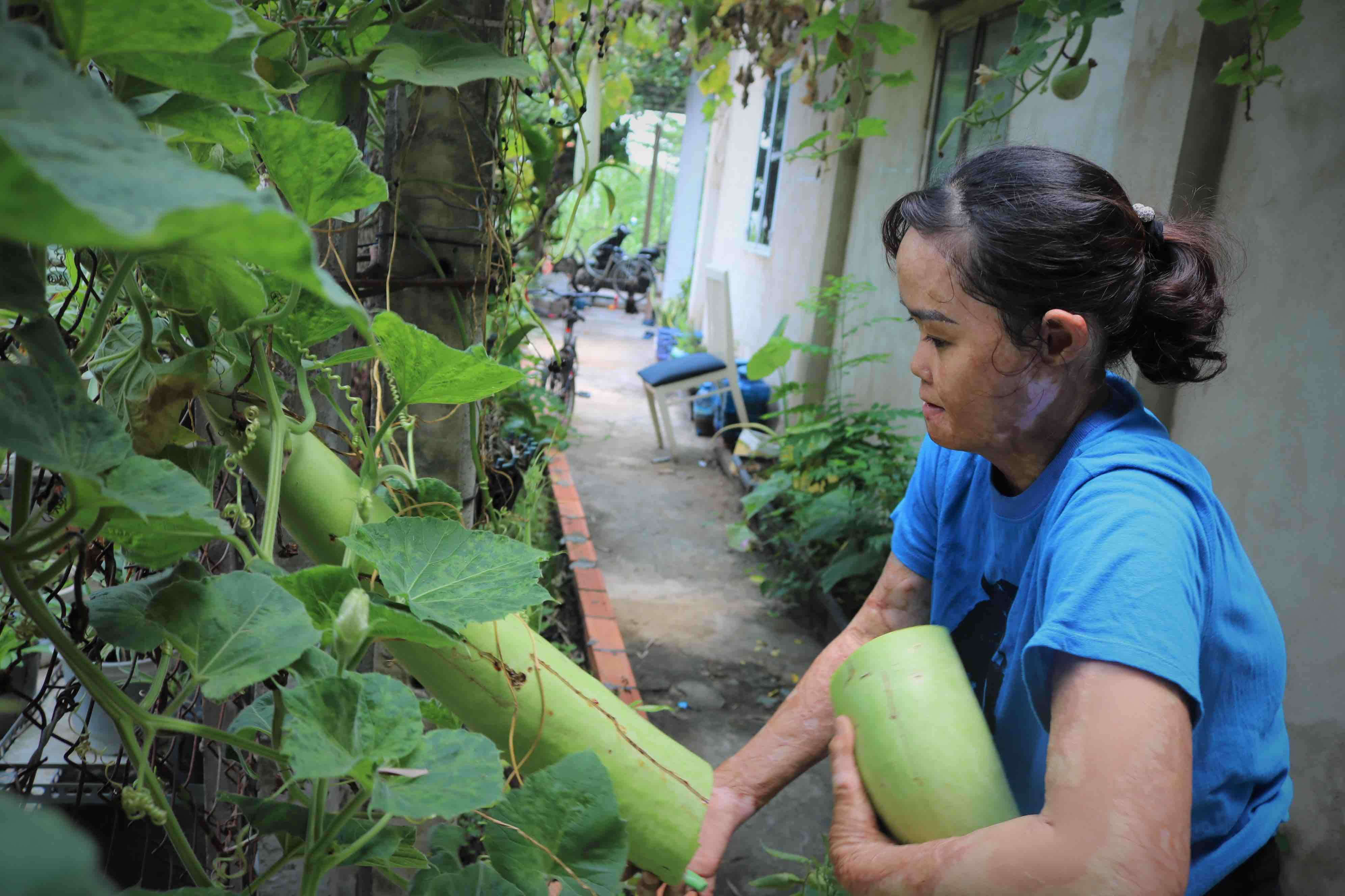 Ngan harvests calabash at her home in Cu Chi District, Ho Chi Minh City. Photo: Hoang An / Tuoi Tre