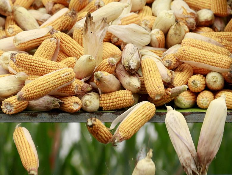 High prices nibble at corn's sway as Asian feed buyers switch to wheat