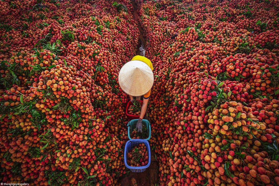 """Lychee season"" shows a Vietnamese woman arranging lychee in a store after the harvest. This photo is part of the commended gallery at Pink Lady Food Photographer of the Year 2021. Photo: Nguyen Huu Thong."