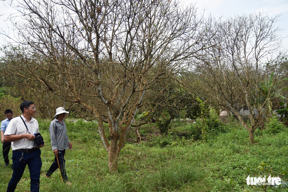 This photo shows the fruit trees bare of leaves due to the beetle devastation in the farm of Nguyen Huu Cong in Binh Phuoc Province's Hon Quan District. Photo: A. Loc / Tuoi Tre