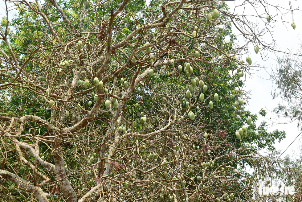 This photo shows a mango tree on which leaves are eaten up by beetles. Photo: A. Loc / Tuoi Tre