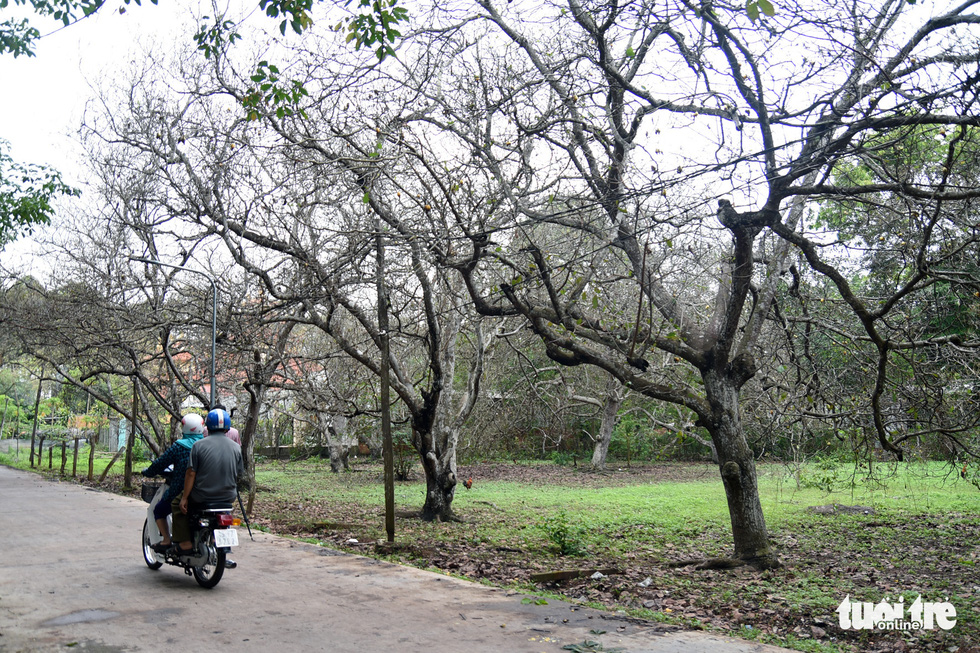 This image shows cashew trees bare of leaves in Dong No Commune, Hon Quan District, Binh Phuoc Province. Photo: A. Loc / Tuoi Tre
