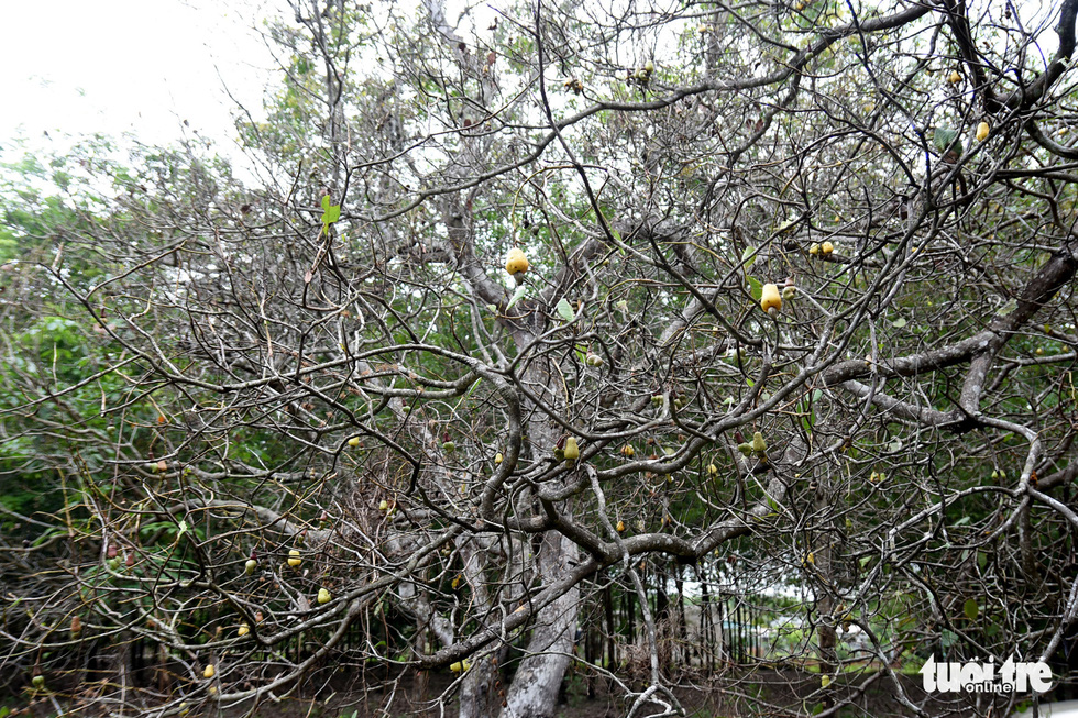 This image shows a cashew tree bare of leaves due to beetle devastation. Photo: A. Loc / Tuoi Tre