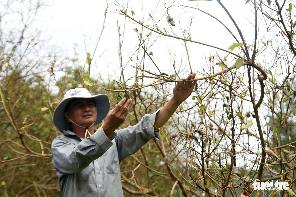 A farmer in Binh Phuoc Province' s Hon Quan District  is seen in his fruit recently devastated by beetles. Photo: A. Loc / Tuoi Tre