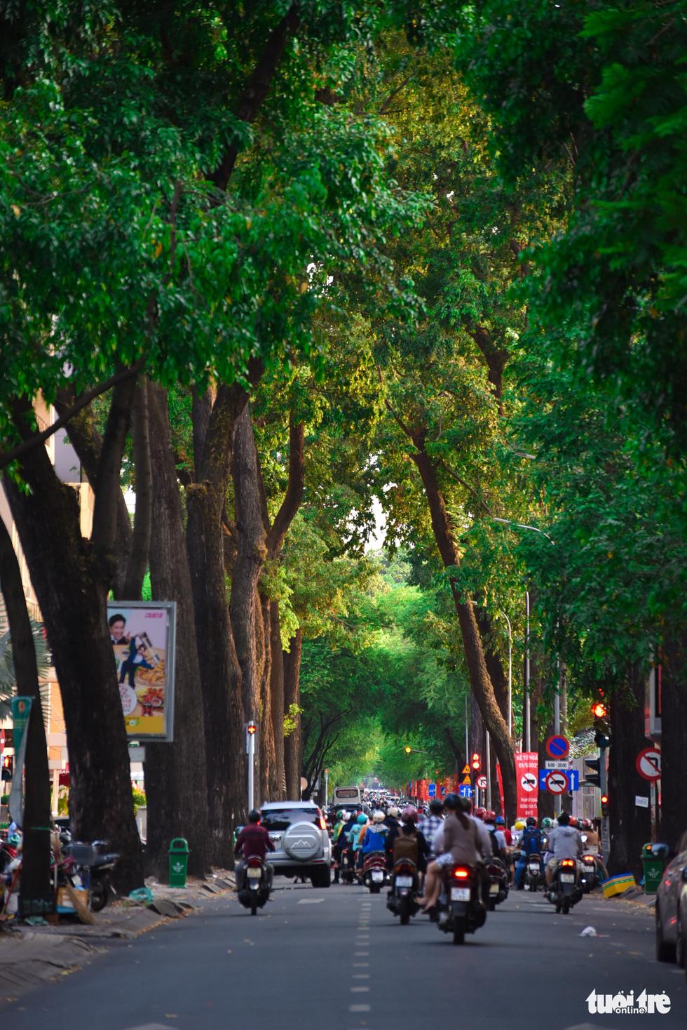 Cho nau trees along Vo Van Tan Street in District 3. Photo: Ngoc Phuong / Tuoi Tre