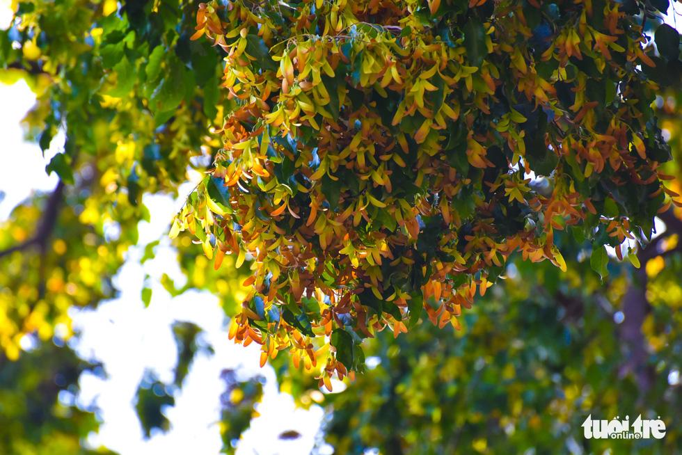 Cho nau (Dipterocarpus retusus) seeds on a tree on Saigon street. Photo: Ngoc Phuong / Tuoi Tre