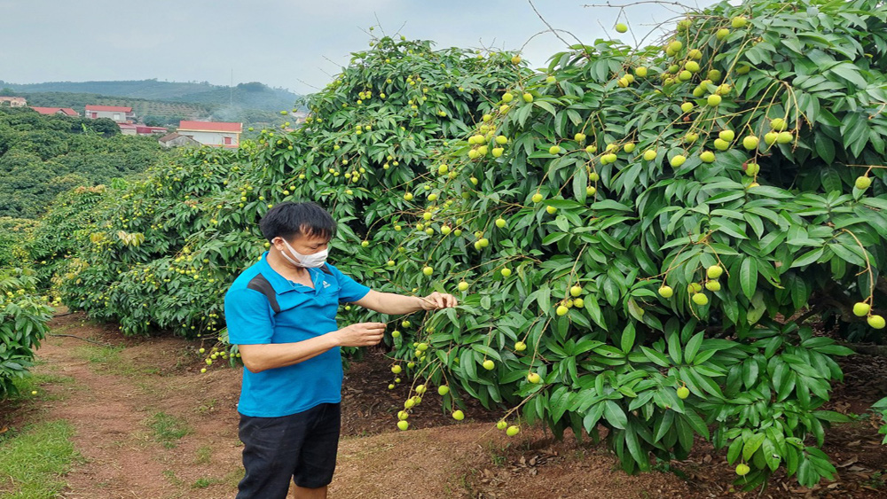 Northern Vietnamese province to welcome 190 Chinese traders for lychee purchase