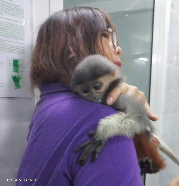 A small injured monkey is hospitalized for treatment. Photo courtesy of Son Tra Wildlife Rescue and Conservation Group