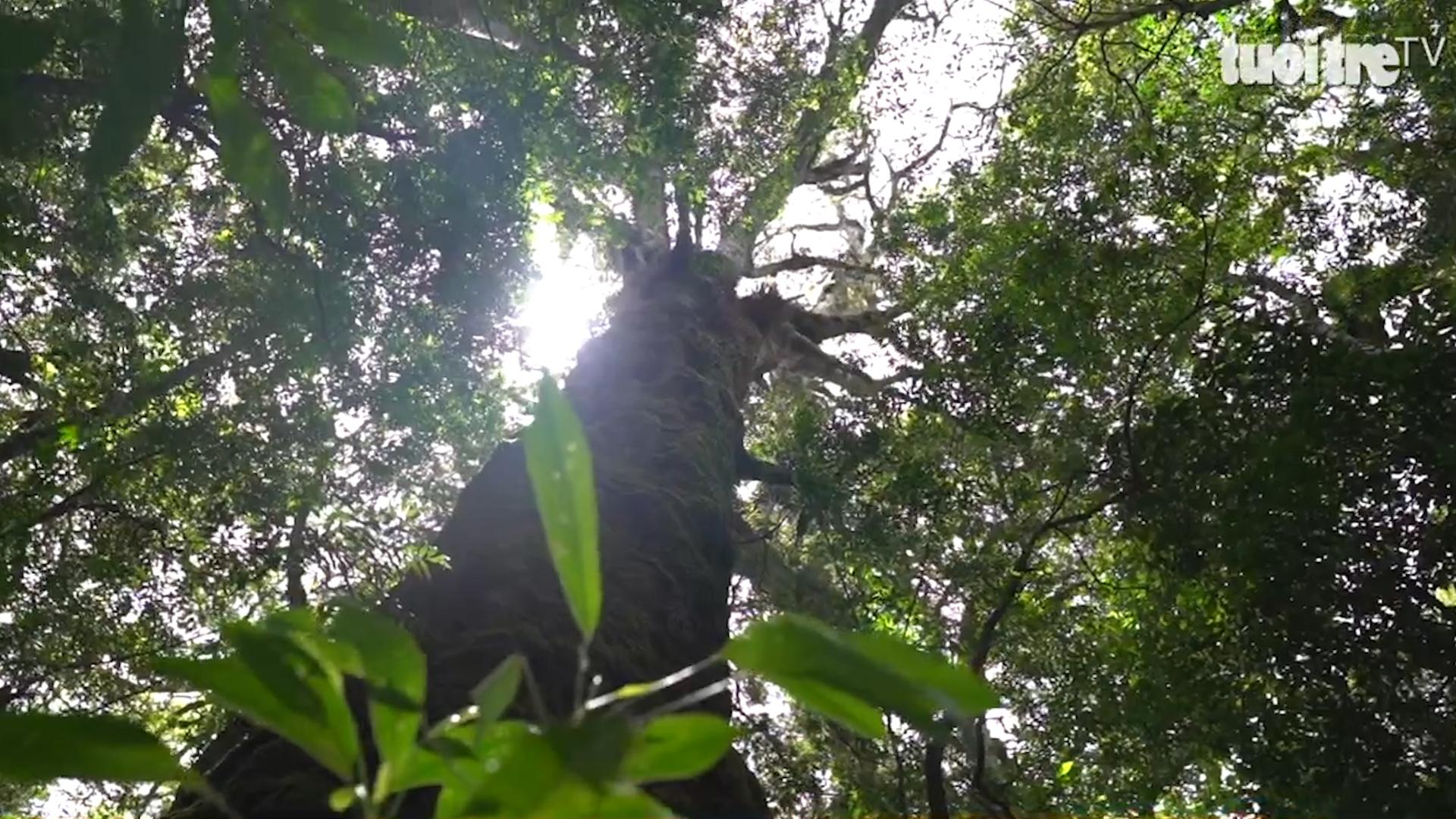 Mysterious species of pine from dinosaur age still living in Vietnam