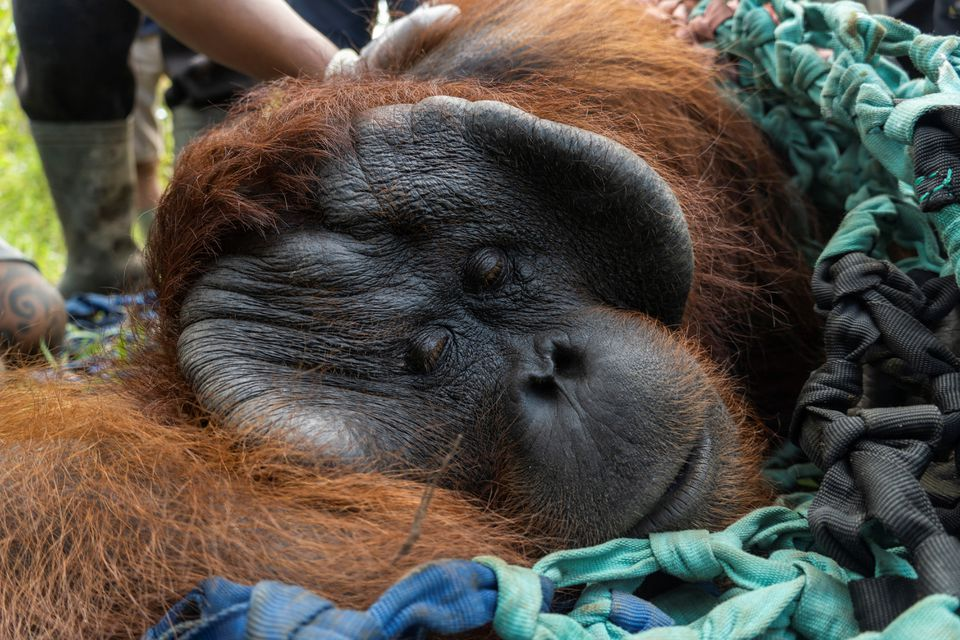 From village to conservation forest, Indonesian orangutan finds a new home