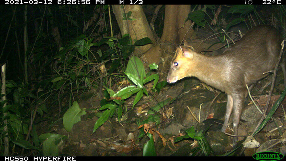 Rare muntjac rediscovered in central Vietnam reserve