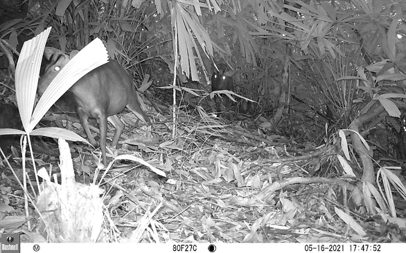 Two rare muntjac individuals in Phong Dien Nature Reserve, Thua Thien-Hue, Vietnam. Photo courtesy of Phong Dien Nature Reserve